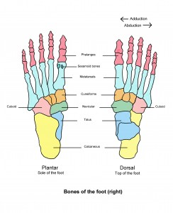 The bones of the foot (the right foot is shown here)