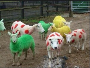 Sheep in the tdf T colours #iLoveYorkshireHumour