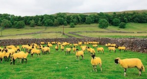 Yellow TDF sheep - #iLoveYorkshireHumour